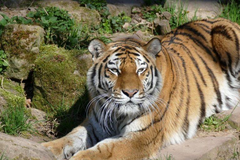 Tiergarten gibt Tiger Samur nach Stendal ab